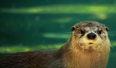 Otter close-up by Forest Wander on Wikimedia. CC BY-SA 2.0.