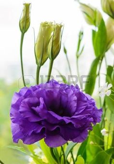 purple lisianthus: Delicate purple flower eustomy (lisianthus) on a background of nature. Close-up
