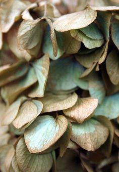Fading Hydrangea - Color Note:  Aqua and Brown