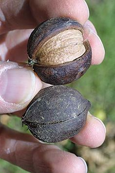 Nut trees on your homestead by Jackie Clay - Hickory Nuts