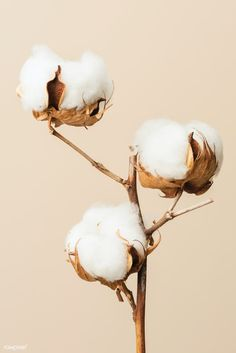 Dried fluffy cotton flower branch on a beige background | premium image by rawpixel.com / KUTTHALEEYO Flower Background Wallpaper, Flower Phone Wallpaper, Beige Background, Flower Backgrounds, Cream Aesthetic, Flower Aesthetic, Flower Branch, Flower Art, Cotton Plant
