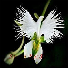 [Visit to Buy] ``Hot `Hot selling 100pcs Peru Monkey Face Orchid Flower Seeds Phalaenopsis Bonsai Flower Plant Seeds DIY home garden #Advertisement