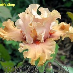 Ирис Coffee Shop или Коффи Шоп :: Ирисы. Лилейники. Хоста. Сад цветов Яворских