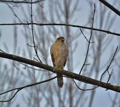 The first one was on the Bruce Trail of the Hamilton Escarpment.  Some type of hawk species?  Second was on the Bruce Trail towards Balls Falls.  Coopers