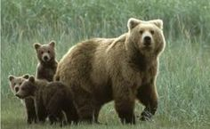 Mother bear protecting her cubs.