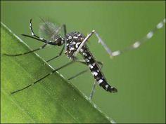 O inseto com a mais incomum forma de expansão de território: o mosquito 'Aedes albopictus', transmissor da dengue, se espalhou do sudeste asiático para a América do Sul e África através do comércio de pneus usados. Os pneus acumulam água da chuva, onde os mosquitos se procriam