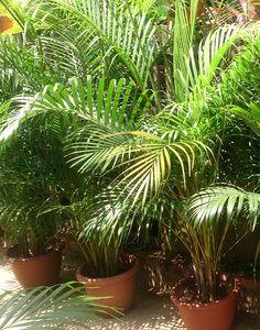 Le #palmier d'#arec ou #areca : une plante d'intérieur facile à entretenir