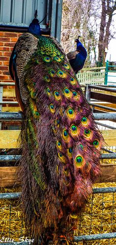 Pink Peacock by Ellie Skye, via Flickr                                                                                                                                                      More