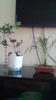 Mini jardim e bonsai