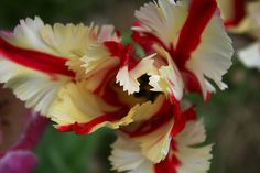 Parrot Tulips Flowers
