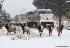 Elk scatter in front of Grand Canyon Railroad as it departs south rim village. New Years Eve 2014. http://www.hoodfineart.com/