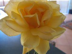 Sun King yellow rose