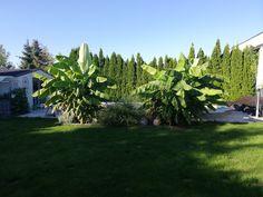 Winterharte Bananenstauden treiben jedes Jahr neu aus werden ca. 3 m hoch. Plants, Lawn And Garden, Plant, Planets