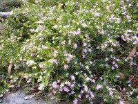 Crowea exalata 'Green Cape' dwarf groundcover h X W Shade Plants, Dwarf, Growing Plants, Native Plants, Dream Vacations, Shrubs, Habitats, Cape, Palette