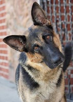 Emma von Egeim from Westside German Shepherd Rescue of Los Angeles