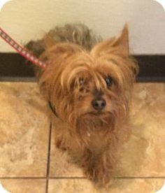 Pictures of Kyle a Yorkie, Yorkshire Terrier for adoption in Oak Ridge, NJ who needs a loving home.