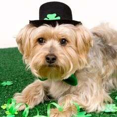 17 dogs rockin adorable St. Patrick's Day outfits