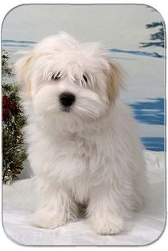 kinda looks like my Gus -  Coton de Tulear - said to be the most affectionate and friendly dog there is!