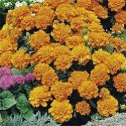 Tagetes patula 'Orange Winner' (French marigold 'Orange Winner') Click image to learn more, add to your lists and get care advice reminders each month.
