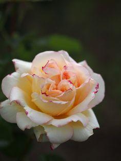 'Alphonse Daudet'   Hybrid Tea rose, France, Meilland-1998