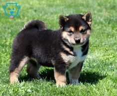 Alfie   Shiba Inu Puppy For Sale   Keystone Puppies Puppies For Sale, Cute Puppies, Shiba Inu, Husky, Best Friends, Animals, Cute Dogs, Hipster Stuff, Beat Friends