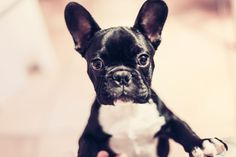So do you like short names? Are you looking for 4 letter name for your dog?Great!Today we have got a great list with names 4 letters only! #4LetterDogNames #DogNames Boston Terriers, Pitbull, Best Dog Breeds, Best Dogs, Cute Puppies, Cute Dogs, Awesome Dogs, Cute Names For Dogs, Dog Dna Test