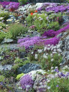 Sten på sten så långt ögat når och mellan dem växter. Här i solgasset trivs småväxta aklejor, backtimjan, mossflox, viol, lewisia och taklökar.
