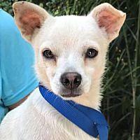 Orlando Fl Chihuahua Meet Tinkerbell 3m A Pet For Adoption Pet Adoption Animal Rescue Pets