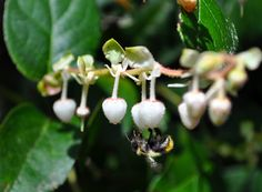 Sweet little bumblebee sampling the blossoms of salal, in Crippen Regional Park. I know that people love hiking in the park because of nature, but I always wonder how many notice the details -- like this beautiful bumble.