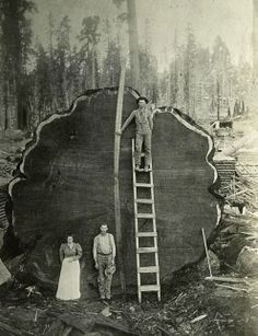 Mammut Tree, Sequoia National Park, California, USA 1892 #photography vintage