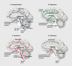 Monoaminergic neurons innervate almost all brain areas. The noradrenergic neurons of the locus ceruleus project to the limbic and cortical reg Brain Anatomy, Medical Anatomy, Anatomy And Physiology, Cingulate Cortex, Brain Structure, Cranial Nerves, Pharmacology, Neurons, Human Body