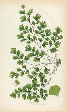 Maidenhair c. 1870 old vintage color Grass plant botanical print