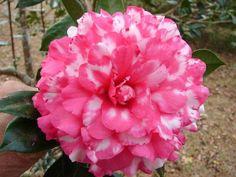 Camellia 'Raspberry Flambe'