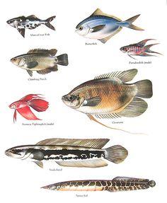 Fish Print Man of War Fish Climbing Perch Siamese