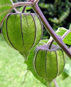 Green Lanterns (fruit casing of the cape gooseberry plant known as chinese lanterns), by Mary Faith., via Flickr