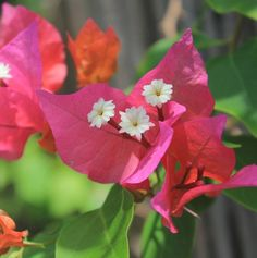 Tropical Bouquet Bougainvillea Plant brings a lovely blush of orangey-pink color to the landscape. This one prefers full sun, well-drained soil and intermittent irrigation as it's drought tolerant. Attracting Hummingbirds, How To Attract Hummingbirds, Bougainvillea, Plant Sale, Drought Tolerant, Irrigation, Pink Color, Flora, Bouquet