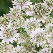 Botanical name: Astrantia major 'Star of Billion'    Other names: Masterwort 'Star of Billion' Click image to learn more, add to your lists and get care advice reminders each month.