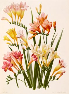 Freesia corymbosa from RHS Lindley Library collection Botanical Drawings, Botanical Illustration, Botanical Flowers, Botanical Prints, Fine Art Prints, Canvas Prints, Framed Prints, Freesia Flowers, Gravure