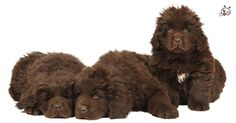 Did you know theese details about our  #Newfoundland puppies? Click the Link or the image now and learn everything about them ;) http://puppies4all.com/newfoundland-puppies-for-sale/ #dog #doglover #puppy #p4a#puppies #dogs #adorable #lovely #funny #loyal #breeds;