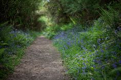 english bluebells....