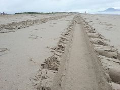Tractor trail on the beach