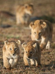 pictures of lions to pin on pinterest | Uploaded to Pinterest