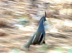 Mountain quail running at Yosemite National Park.