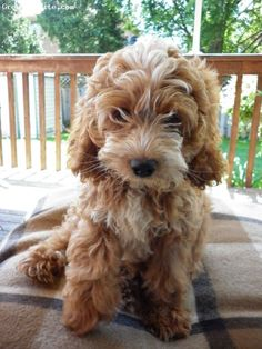 Everything About The Eager Poodle Dogs Size Cockapoo Puppies, Goldendoodle, Cockapoo Grooming, Dalmatian Puppies, Cavapoo, Pet Puppy, Pet Dogs, Dogs And Puppies, Doggies
