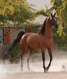 So want one!  Arabians are so gorgeous!