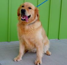 President Theodore Roosevelt is a super sweet and fun 1 year old. He is a Golden Retriever mix and is in need of a good home.