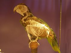 """""""Necks lie.  Another nice illustration of how misleading birds' necks are when viewed in a live animal is this parrot (probably Amazona ochrocephala) in the Natuurhistorisch Museum of Rotterdam (from this Love in the Time of Chasmosaurs post)."""" Source: http://svpow.com/2012/09/20/hoatzins-lie-and-so-do-parrots/"""