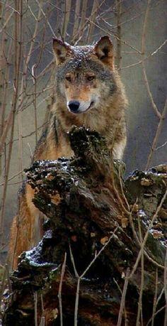 Beautiful Wild Wolf!
