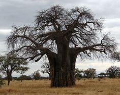 baobab outline on burlap in frame