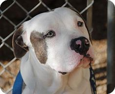 Philadelphia, PA - Pit Bull Terrier Mix. Meet Cosmo, a puppy for adoption. http://www.adoptapet.com/pet/11845343-philadelphia-pennsylvania-pit-bull-terrier-mix